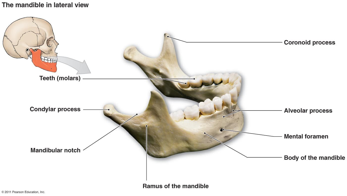 Only Movable Bone In The Face Largest And Strongest