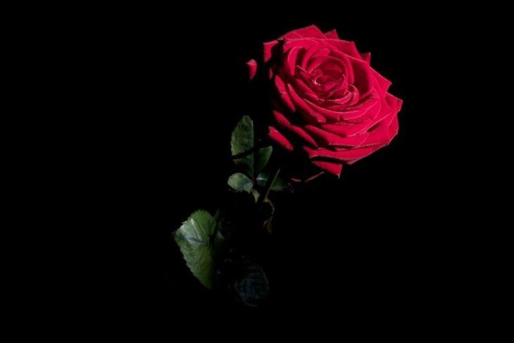 Rose Flower Delicate Wonderful Single Soft Cute Beauty Red