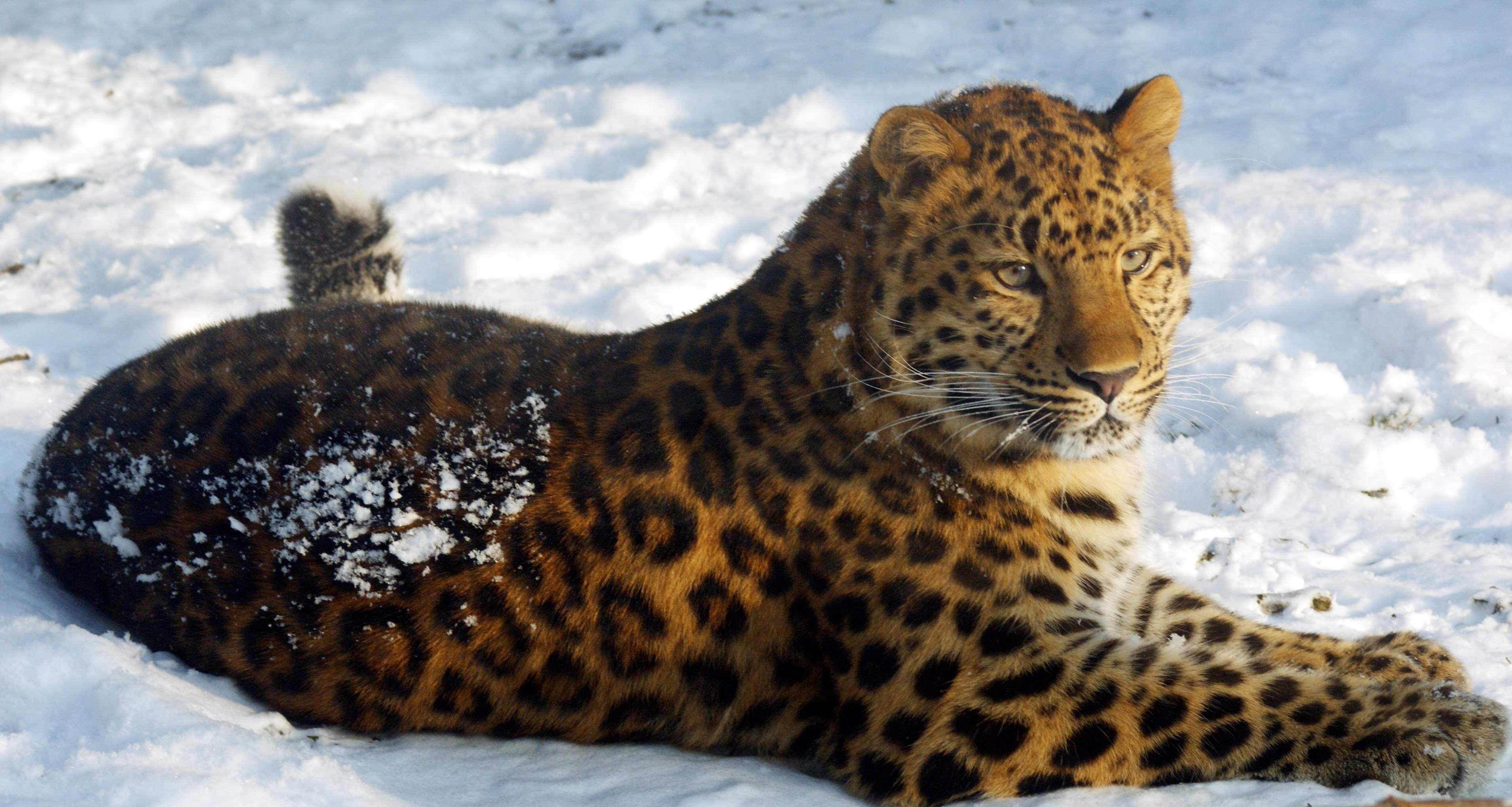 amur leopard ~ highly endangered | glorious beasts | pinterest