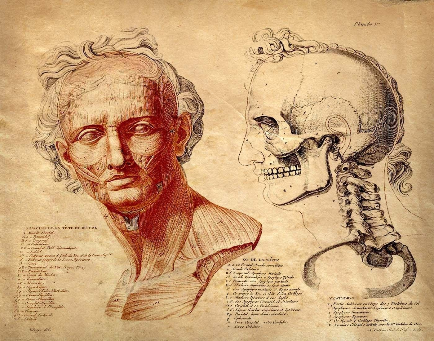 Vintage Anatomy Human Body Facial Muscles And Skull