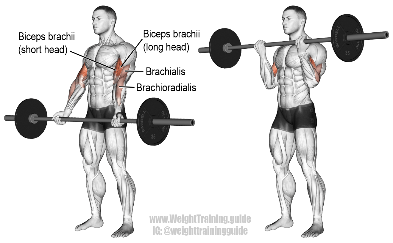 Barbell Curl An Isolation Exercise Target Muscle Biceps