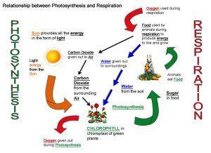 Photosynthesis & Respiration on Pinterest | Photosynthesis