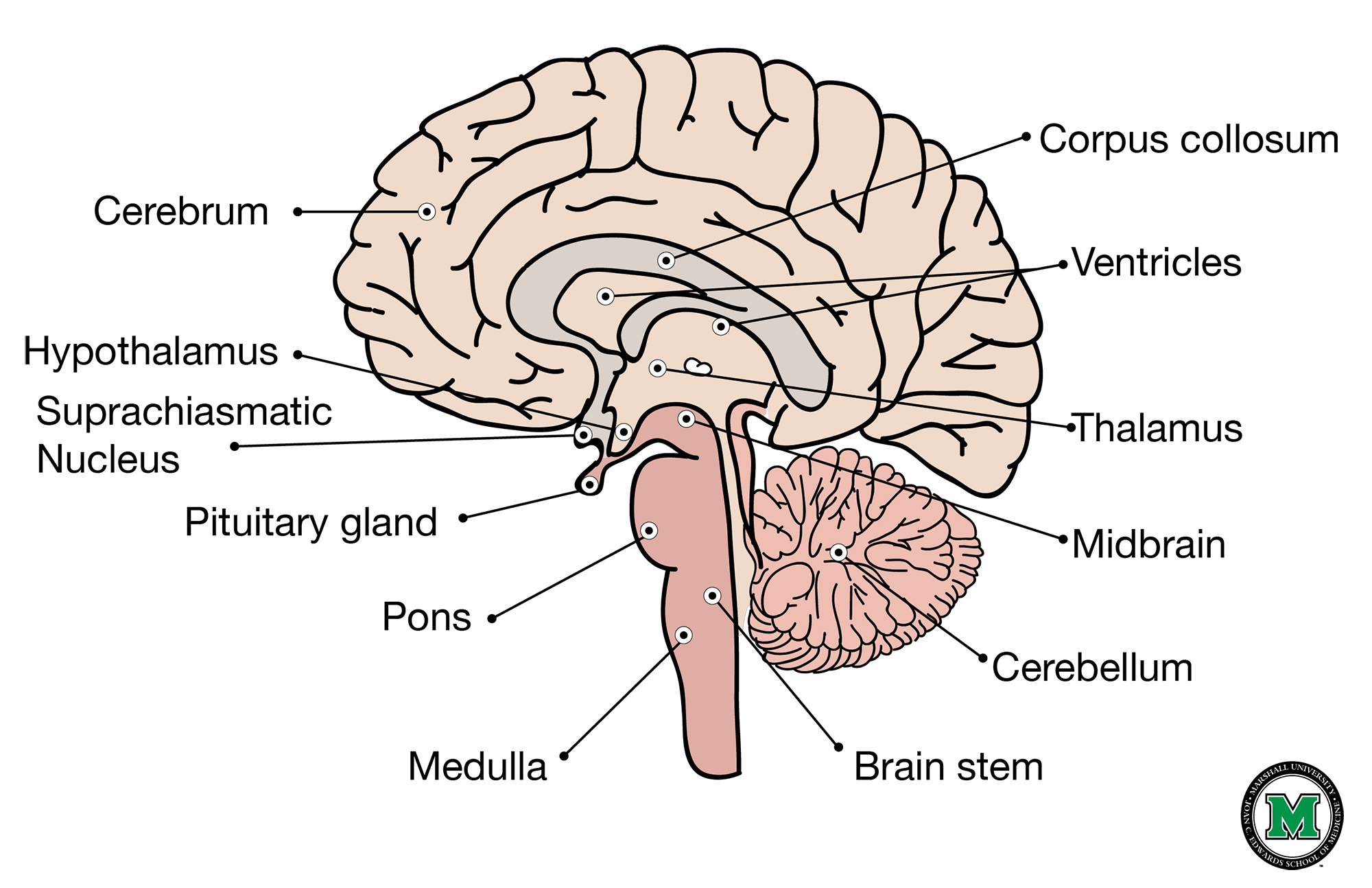Sagittal View Of The Human Brain