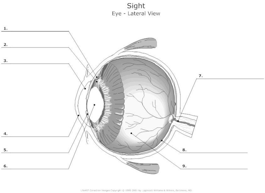 Human Eye Diagram Unlabeled   Anatomy   Pinterest   Human ...