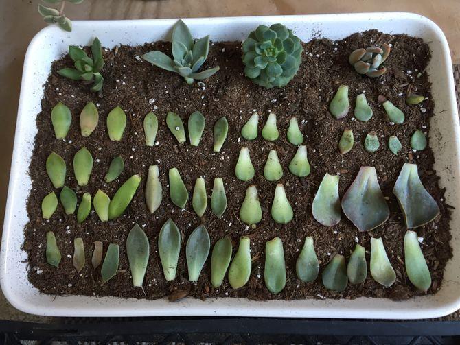 Propagate Succulents From Leaves Propagate Succulents