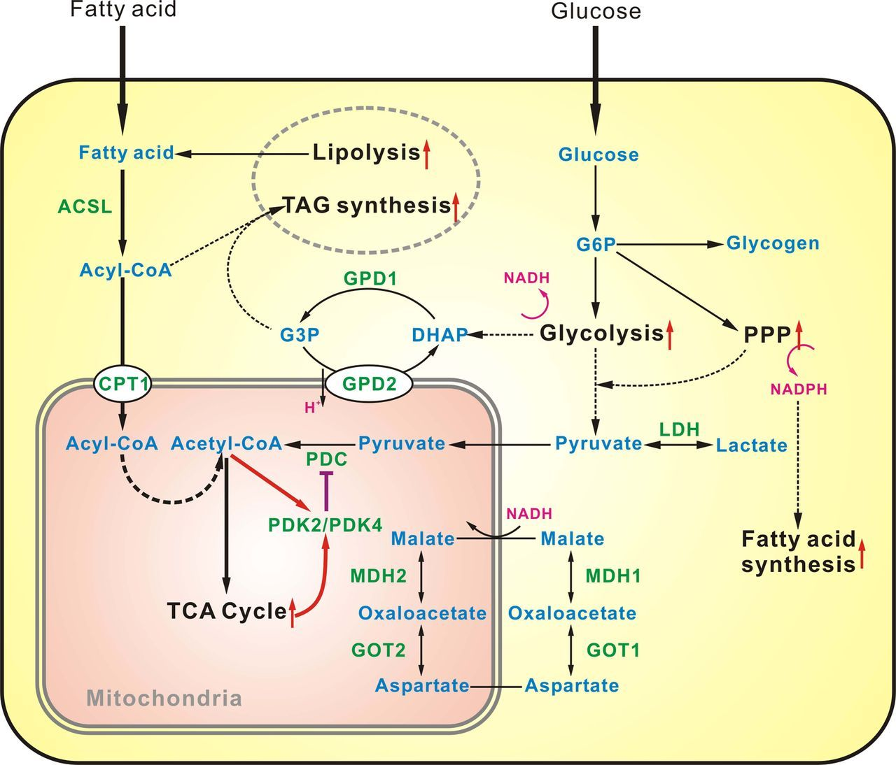 Glucose Metabolism Diagram Transcriptome Profiling Of