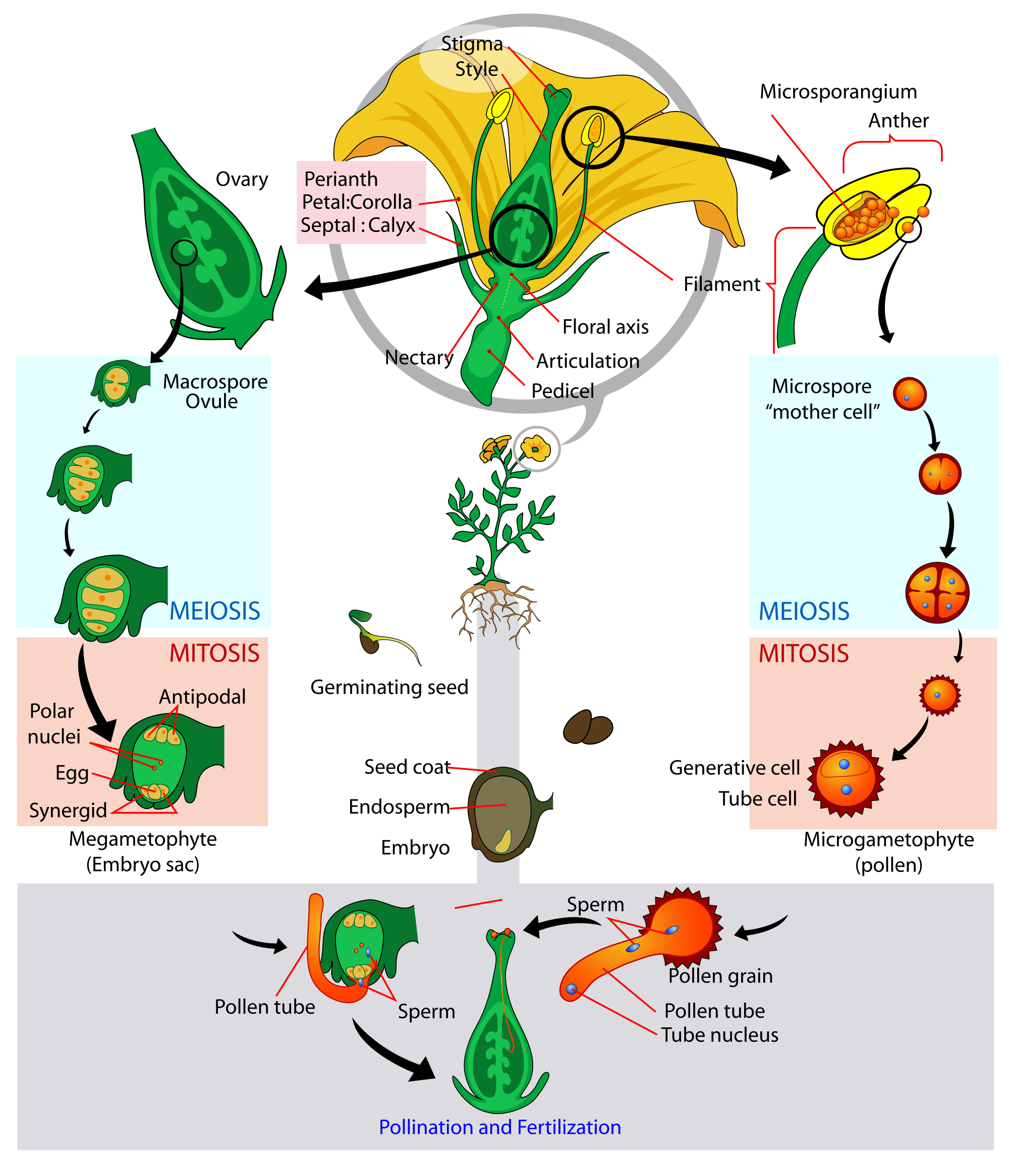 Angiosperm Flowering Plant Life Cycle Diagram
