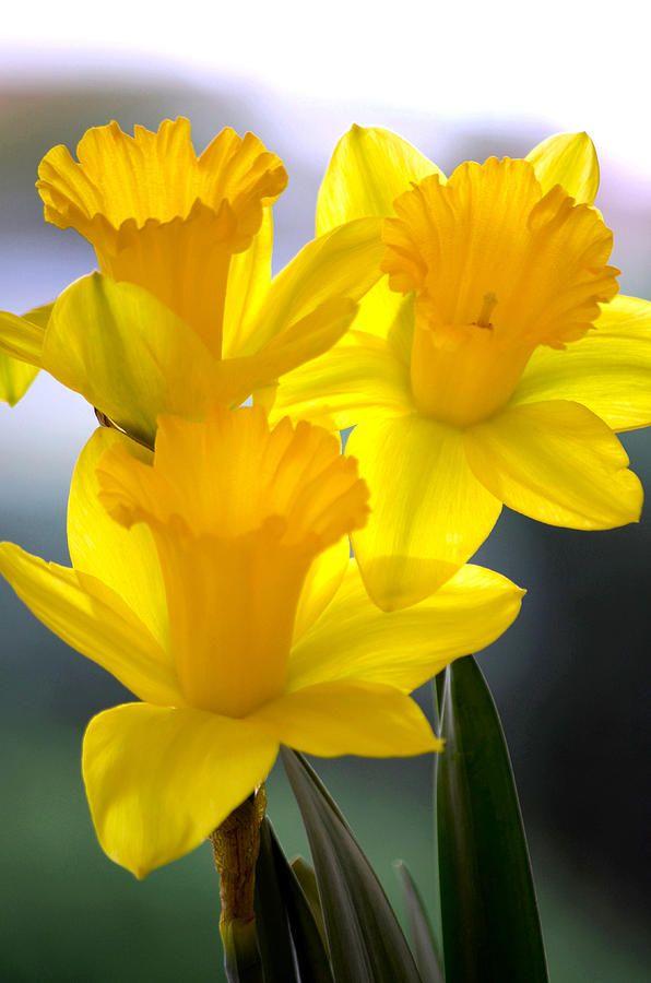 Best 25 Daffodils Ideas On Pinterest Daffodil Daffodil