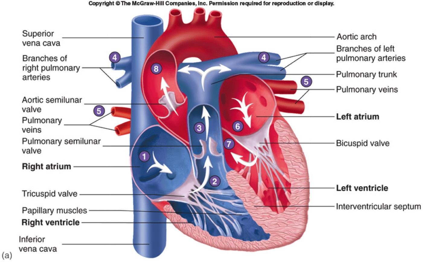 Cardiovascular Heart Parts