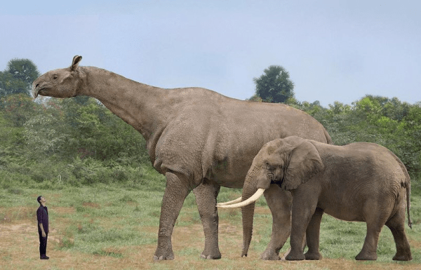 Baluchitherium, extinct. The largest land mammal that ever ...