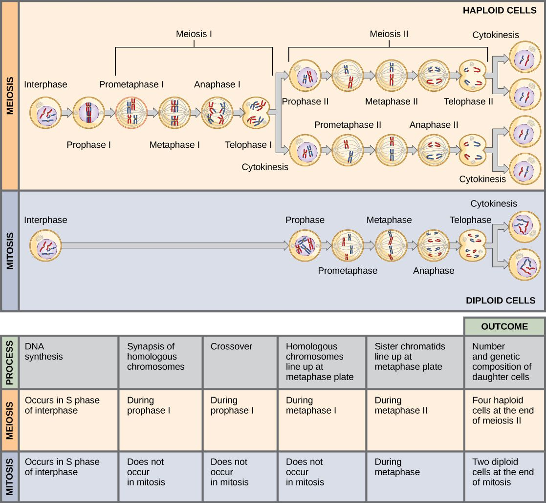This Illustration Compares Meiosis And Mitosis In Meiosis