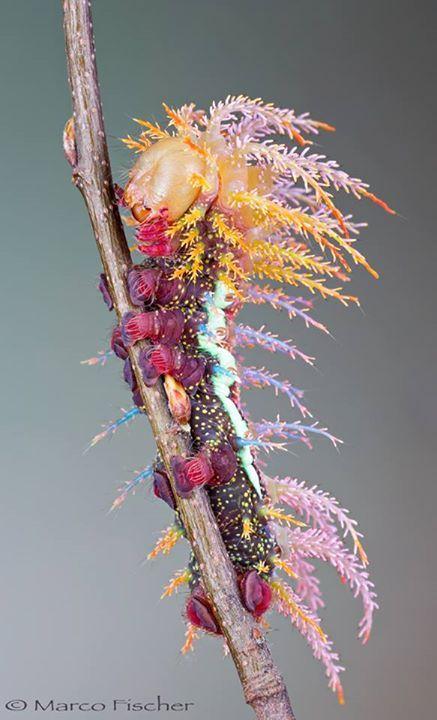 Amazing Caterpillar of Saturniidae Moth in Switzerland