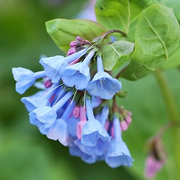 Top Deer-Resistant Plants of the Northeast Virginia Bluebells  A native wildflow