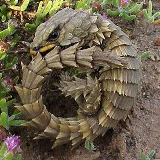 The Armadillo Lizard is a lizard endemic to desert areas of southern Africa. The