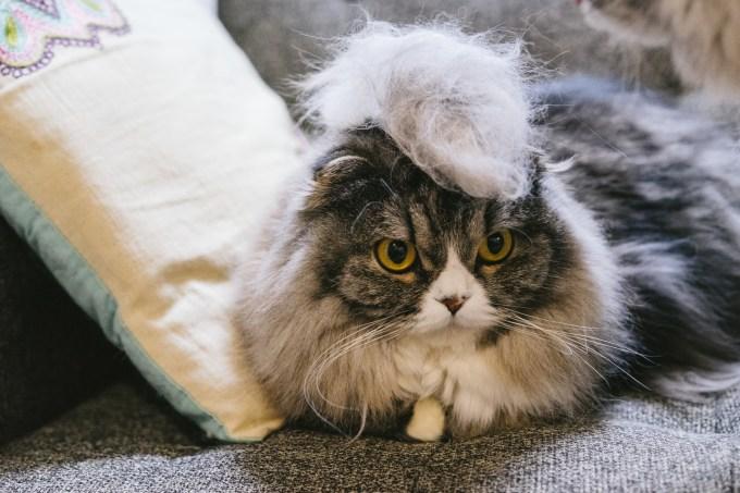 猫(毛長い)