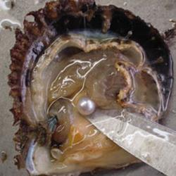 大きいアコヤ真珠