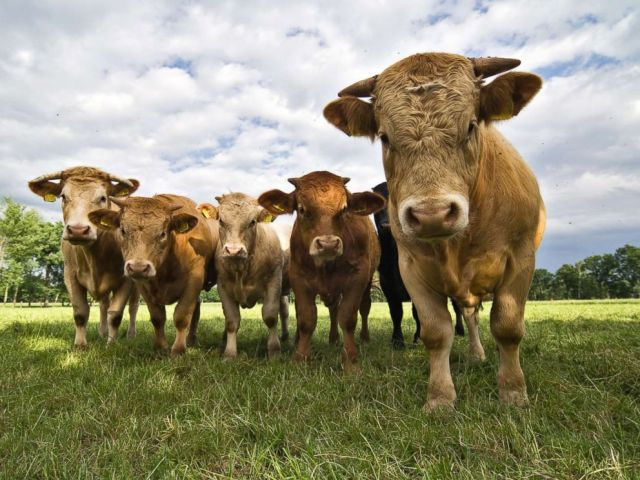 PHOTO: This stock photo depicts cows in a field.