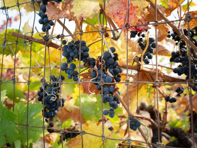 PHOTO: October marks not only fire season in California but also the peak of the grape harvest.