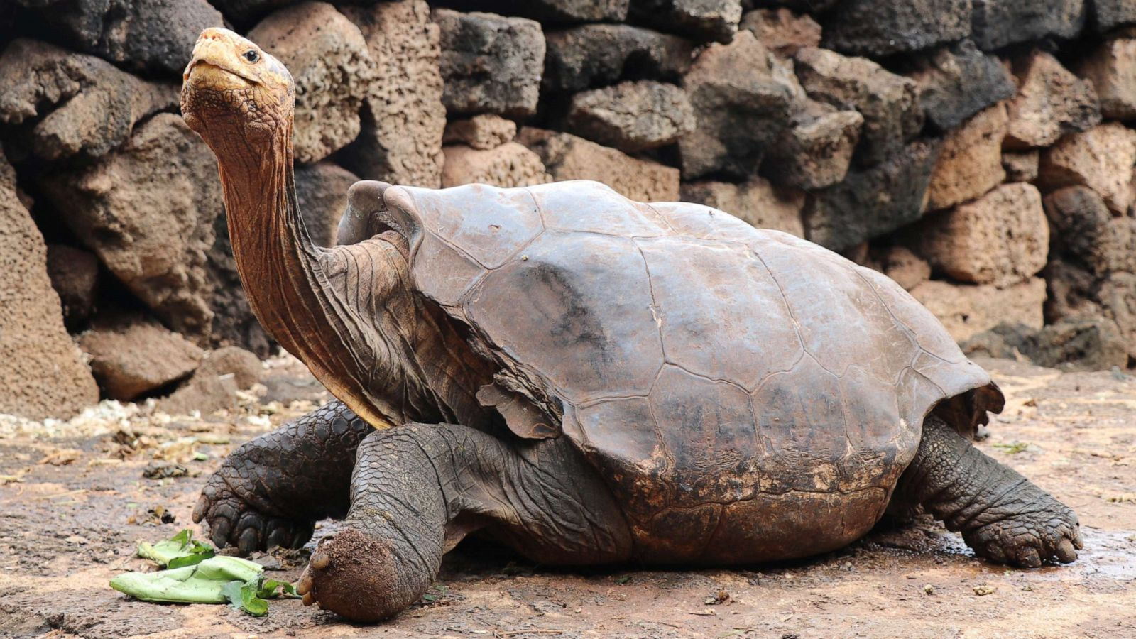 Galapagos Giant Tortoise Has So Much Sex He Retires After Saving His Species Abc News