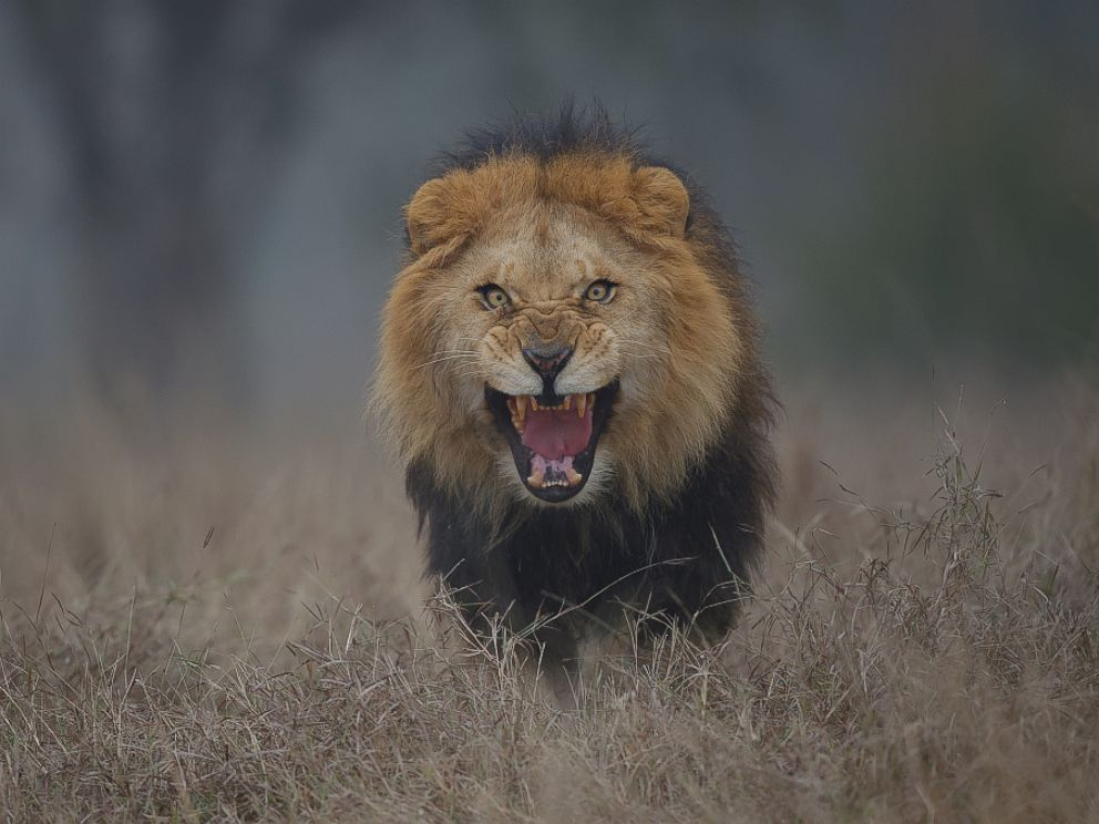 Photographer S Chilling Image Of Attacking Lion Will Put Terror In Your Heart Abc News
