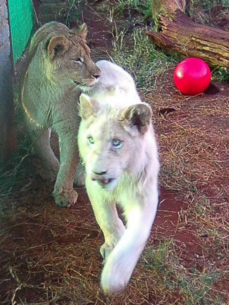 Rare White Lion In South Africa Named Mufasa May Be Saved By Mystery Donor Abc News