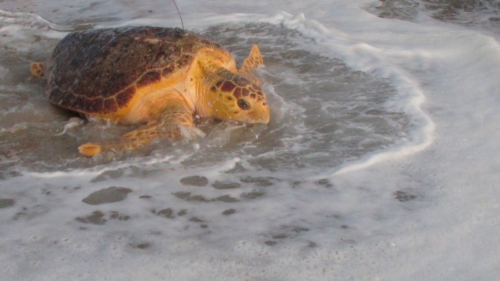 Once Near Death Rescued Sea Turtles Sent Back To The Ocean Abc News
