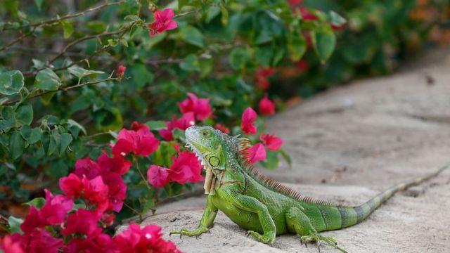 Reptile invasion: Florida agency encourages killing iguanas - ABC News