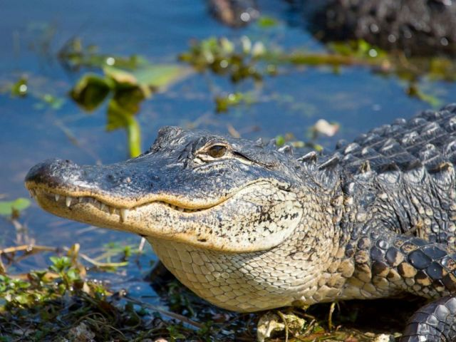 PHOTO: An alligator in Florida.