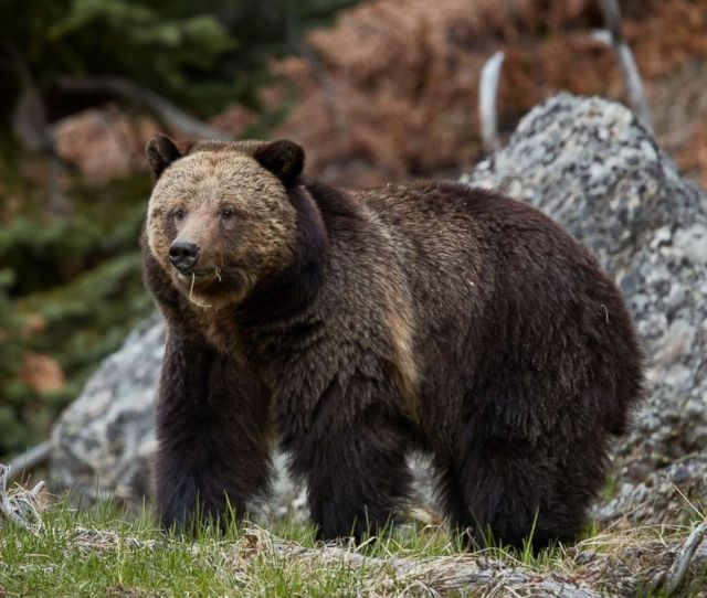 Photo A Grizzly Bear Is Pictured In Yellowstone National Park In Wyoming In This