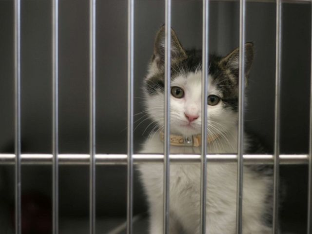PHOTO: In this undated file photo, a kitten waits to be adopted from the animal shelter.