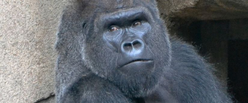 Image result for depressed gorilla