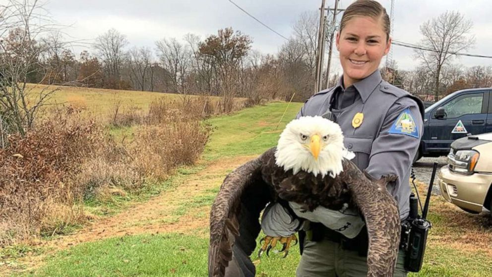Bald Eagle Rescued After It Was Shot Twice In The Wing Missouri Officials Say Abc News
