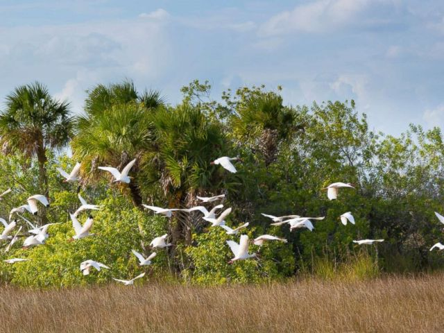 PHOTO: A flock of great egret and wood stork are pictured in flight over wetlands in the Florida Everglades, Nov. 5, 2014.