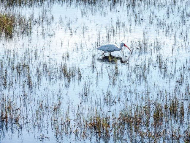 PHOTO: An ibis forages in the marsh at Merritt Island National Wildlife Refuge in Florida, Oct. 22, 2016.