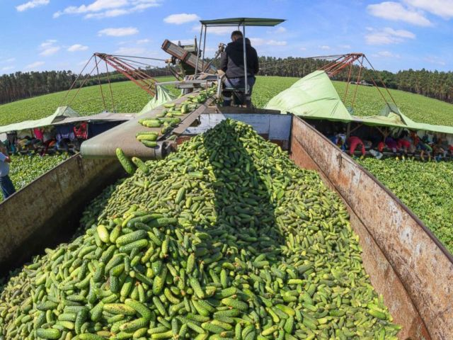 PHOTO: Seasonal workers from Romania crop cucumbers on June 14, 2018 at the Spreewaldbauer Ricken farm in Sellendorf near Baruth, northeastern Germany, after the crop season was launched.