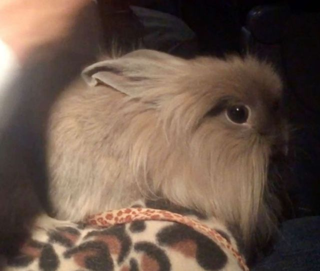 Photo Abc News Tom Llamas Brought This Rabbit Aboard A Flight After Getting A Certificate