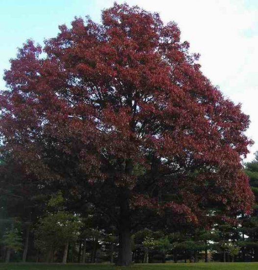 Northern Red Oak Acorns 5 Count
