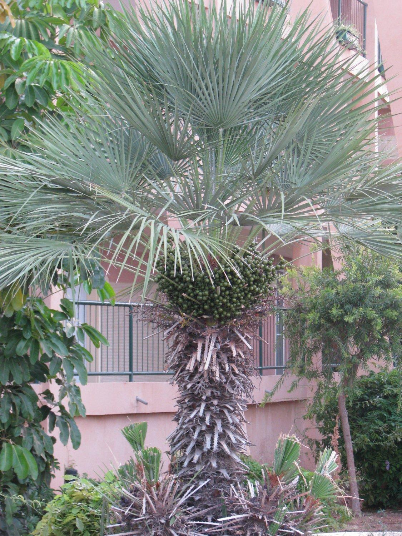 Chamaerops Humilis Var Cerifera Blue Palm Tree Drought And Cold Tolerant 9 Seeds