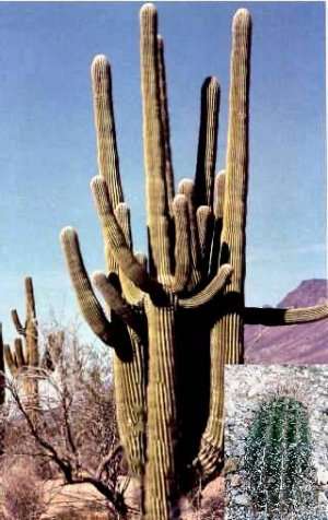Rainbow Wall Giant Saguaro Cactus For Sale