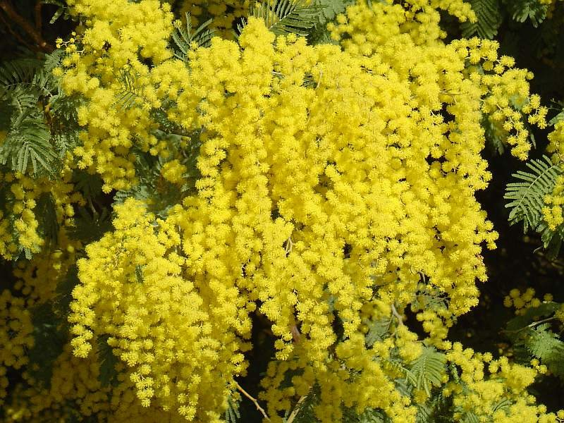 Acacia Dealbata Tree Or Shrub 100 Seeds Silver Wattle Mimosa