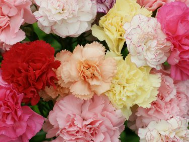 Edible Flowers French Carnation Chabaud Mix Dianthus caryophyllus     Edible Flowers French Carnation Chabaud Mix Dianthus caryophyllus   100   Seeds