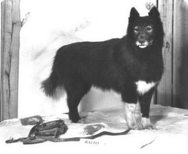 Все о братьях наших меньших: Легендарный пёс Балто ...
