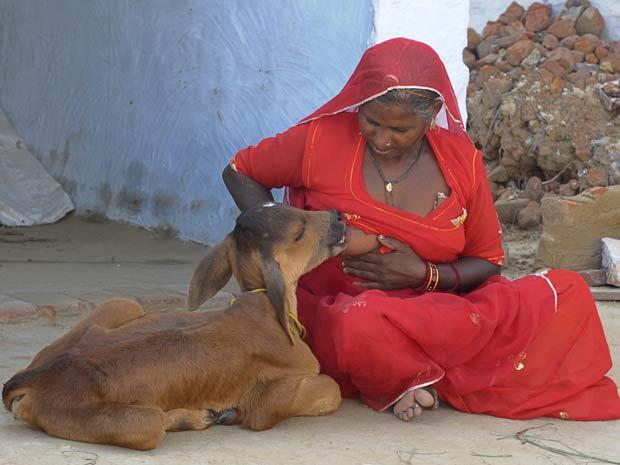 Chouthi Bai amamenta um bezerro na Índia.