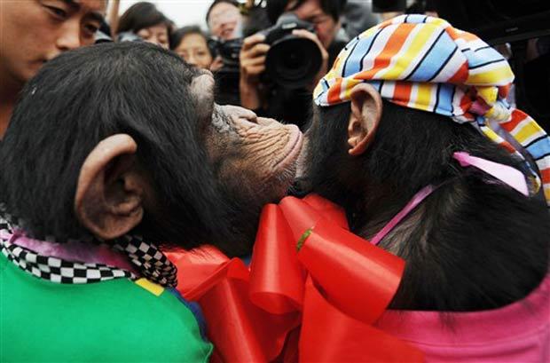 Chimpanzés 'se beijam' durante a cerimônia de casamento.