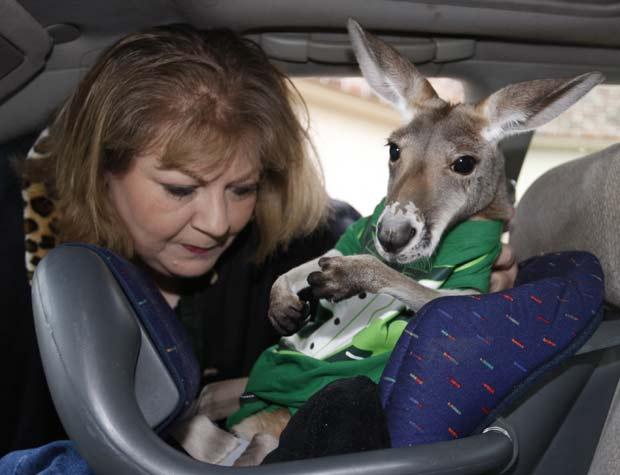 Mulher usa bebê conforto para levar 'Irwin' no carro. (Foto: Sue Ogrocki/AP)