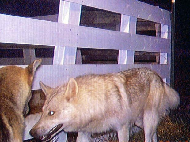 Imagem de câmera de segurança feita em maio, divulgada pela polícia do condado de Stevens, mostra cães suspeitos de mataram cerca de 100 animais em Deer Park, no estado americano de Washington. Entre as vítimas, há cabras e até um lhama. A matilha 'age' há três meses, sem que autoridades e voluntários tenham conseguido detê-los. O vice-prefeito, Keith Cochran, pediu aos moradores que protejam seus animais e disse que os cães aparentemente estão 'matando por diversão'. Os ataques ocorrem em uma área de montanhas e vales na pequena cidade, a 40 km ao norte de Spokane. (Foto: AP)