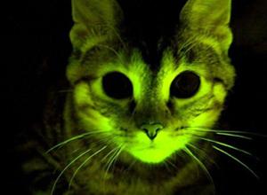 Gatos usados em pesquisa de Aids felina brilham no escuro (Mayo Clinic)