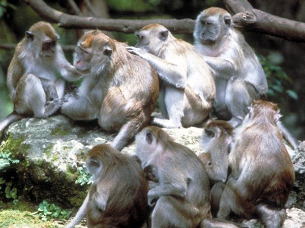 Grupo de macacos-caranguejeiros, espécie de primatas que vive em grupos (Foto: Roy Fontaine)