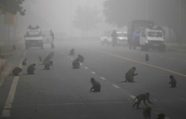 Dezenas de macacos congestionaram na terça-feira (3) uma estrada em Nova Déli, na Índia, para devorar frutas e outras comidas entregues por devotos hindus. (Foto: Saurabh Das/AP)