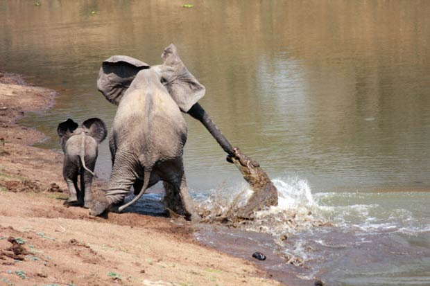 Em 2010, um crocodilo mordeu a tromba de uma elefanta quando ela tomava água em um rio no Parque Nacional de South Luangwa, em Zâmbia. Após lutar, a elefanta conseguiu se soltar do ataque do réptil. (Foto: Martin Nyfeler/Barcroft Media/Getty Images)